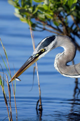 Great Blue Heron has caught a fish in a coastal swamp