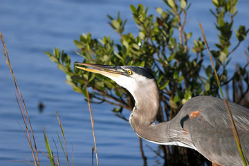 Great Blue Heron feeds in a Florida mangrove swamp