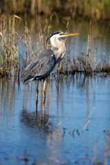 Great Blue Heron in a coastal Florida marsh