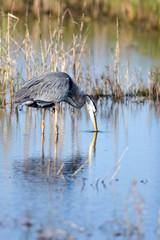 Great Blue Heron in a coastal Florida marsh