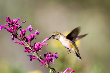 Immature Broad-tailed Hummingbird feeds on hummingbird mint