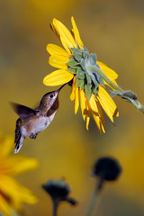 Immature Broad-tailed Hummingbird feeds in yellow sunflower