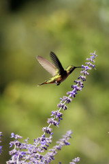 Immature Broad-tailed Hummingbird feeds in Russian sage