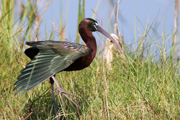 Glossy Ibis spreads his wing in a Florida wetland