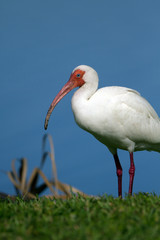 White Ibis poses for the camera on the Florida coast