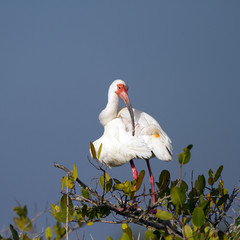 White Ibis preens in a mangrove on the Florida coast