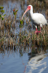 White Ibis in a marsh on the Florida coast