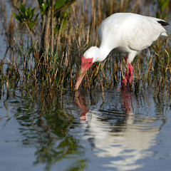 White Ibis feeds in a marsh on the Florida coast