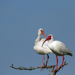 White Ibis male and female pair on the Florida coast