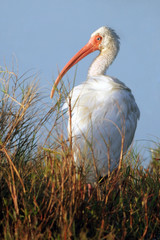 White Ibis at dawn in Everglades National Park