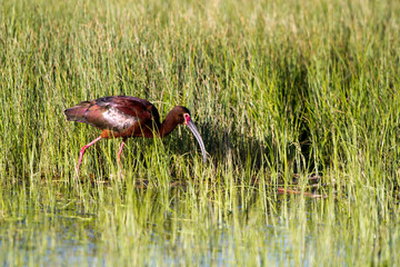 White-faced Ibis in breeding plumage in a Colorado marsh