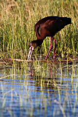 White-faced Ibis in breeding plumage feeds in a Colorado marsh