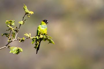 Black-hooded Parakeet in southern California