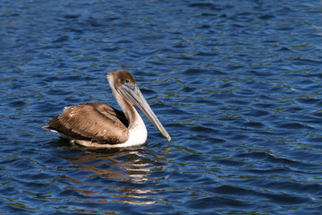 Brown Pelican on Florida's gulf coast