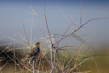 Meadowlark in a thicket at dawn in autumn in Antelope Island State Park in Utah