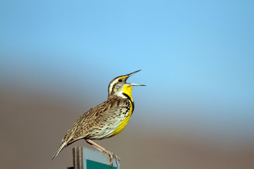 Meadowlark sings to defend his territory in spring in New Mexico