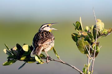 Meadowlark sings to defend his territory in spring