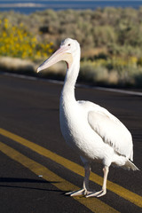 White Pelican in the middle of a road in Antelope Island State Park in Utah