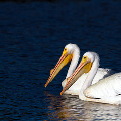 Two White Pelicans at dawn in Ding Darling National Wildlife Refuge in Florida