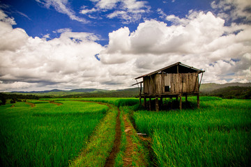 Blue sky and green paddy / Natural landscape of sky and paddy in a clear day.
