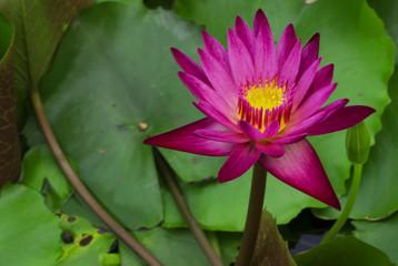Lotus - Water Lily