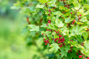 Red currant bush in the organic farm