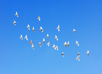 Wall Mural - flock of pigeons flying in blue sky
