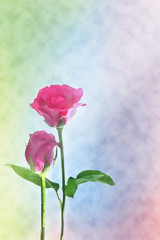 Rose background beautiful color for romantic couple decoration (Card, greeting, valentine)