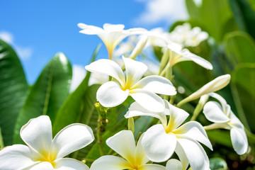White plumeria with blue sky background