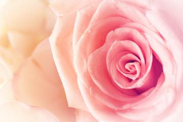 Pink rose on pastel background