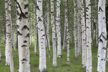 A group of birches in the nature
