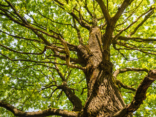 Big Old Oak Tree With Green Leaves From Below