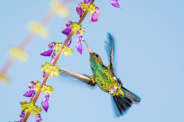 Briliant and green, Hummingbird sucking nectar from the flower