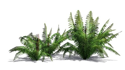 Fern plant - isolated on white background