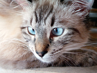 Close up of a cat with wide blue eyes.