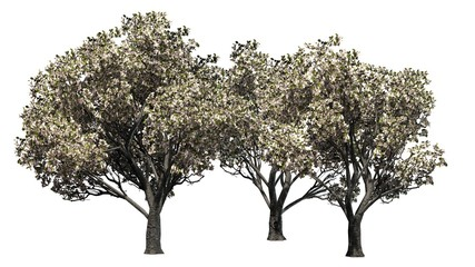 red delicious apple trees spring - separated on white background