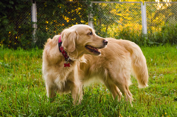 golden retriever dog standing on nature