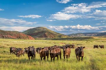 Open range cattle in Colorado Wall mural