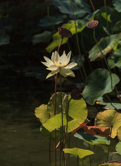 White and yellow lotus flower on top of a koi pond in Southern California