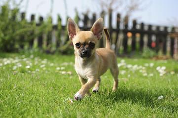Chihuahua - Welpe - Laufen im Garten