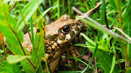 Earthen toad in the grass
