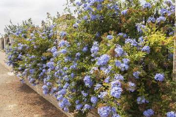 Blue flowers plumbago auriculata, cape leadwort, blue jasmine