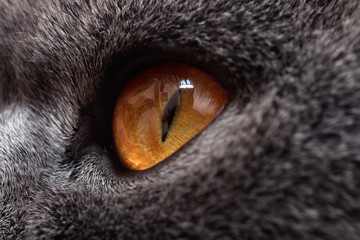 yellow eyes of gray cat