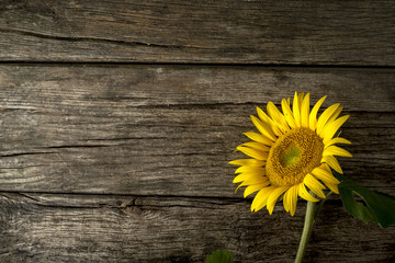 Single fresh yellow sunflower, or Helianthus, lying to the right hand side on old weathered cracked rustic wood boards with copyspace.