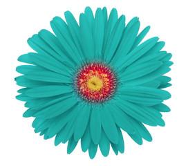 turquoise gerbera flower