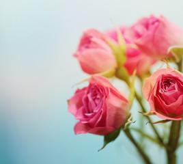 Soft focus rose flower background.