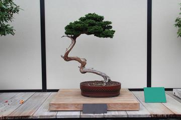 Keuken foto achterwand Bonsai Bonsai Tree- Hinoki False Cypress- Chamaecyparis Obtusa
