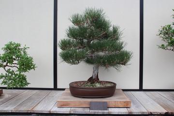 Bonsai Tree- Japanese Black Pine- Pinus Thunbergii