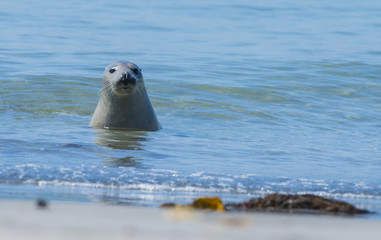 seals on a beach - Helgoland, Germany