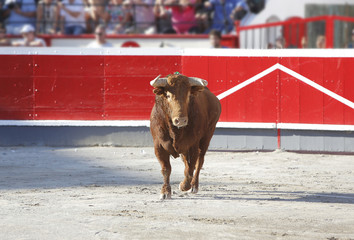 Bull out to the bullring